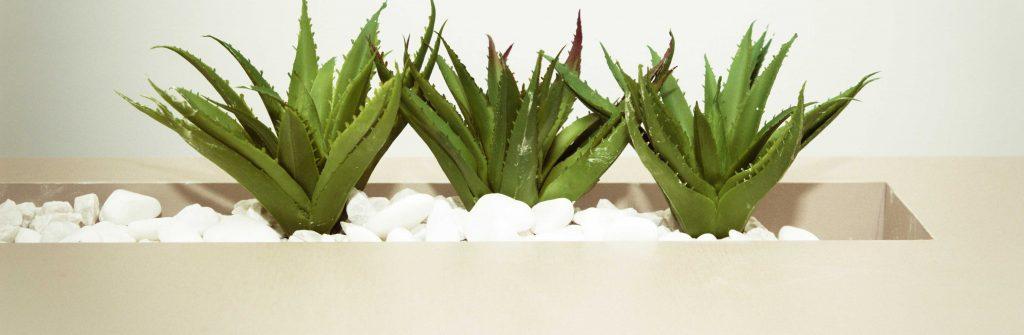 Photo qui montre des plantes d'aloe véra